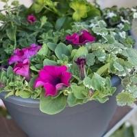 Hortensia /bougainville - - Samenstelling in een pot -